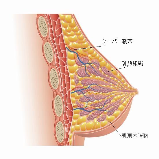 乳房断面図